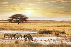 Zebras on an African plain • Safari Holidays with Holiday Hamster