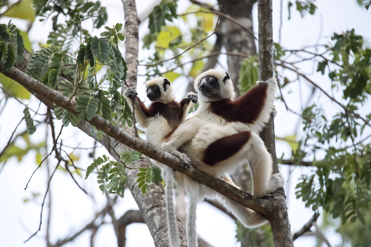 A Baby Verreaux's Sifaka Lemur and Mother Hangout in the Branches of the Berenty Reserve in Southern Madagascar