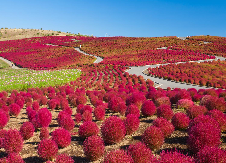 Beautiful kochias hill in autumn season at Hitachi seaside park, Japan