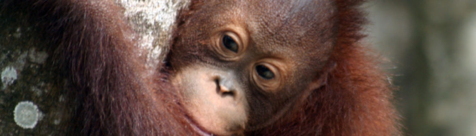Experience Borneo's Jungles and Orangutans with Holiday Hamster
