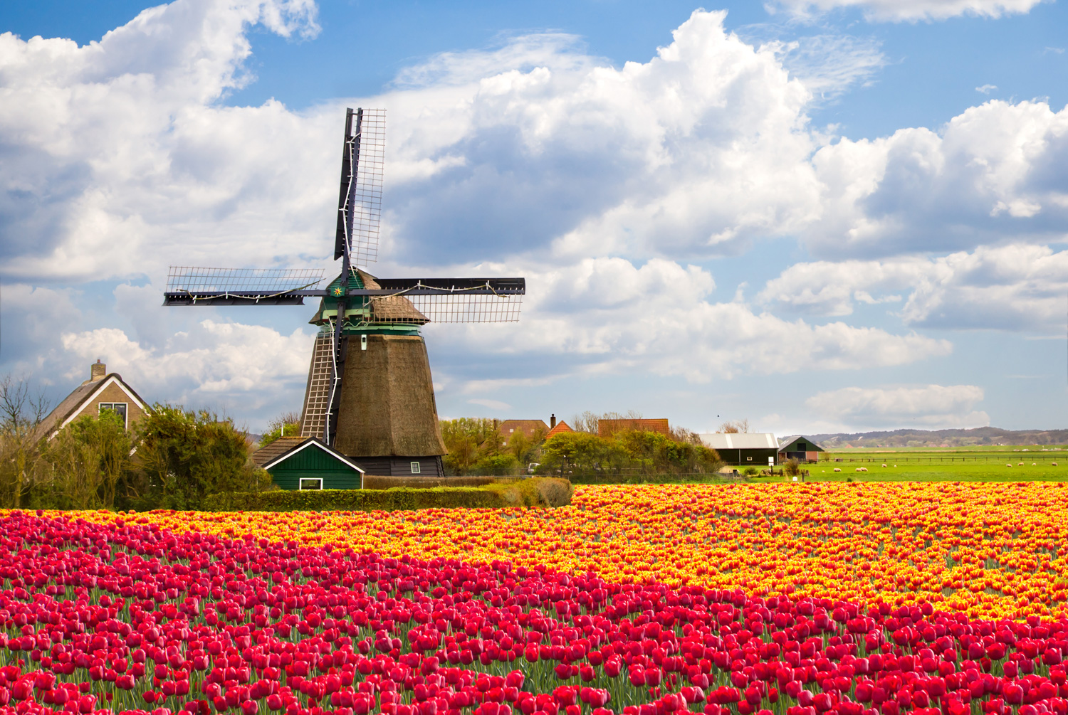 Windmill surrounded by tulip fields, Netherlands